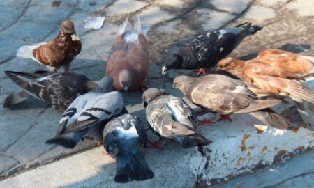 cazadores de palomas